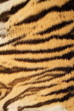 Tiger real fur. Tiger colorful real fur, natural pattern with black stripes Stock Image