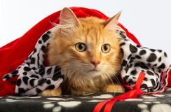 Tiger red cat with red cape at Christamas. Tiger red cat with red cape and beautiful hairs at Christamas on a white background royalty free stock photography