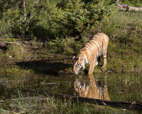 Tiger Reflectioin Royaltyfria Foton