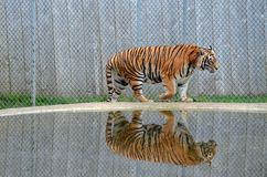 Tiger reflection Stock Photos