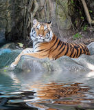 Tiger with reflection in water Royalty Free Stock Photos