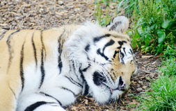 Tiger relaxed Royalty Free Stock Image