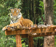 Tiger relaxing action in nature Royalty Free Stock Images