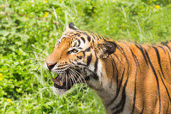 Tiger relaxing action in nature Royalty Free Stock Photos