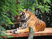 Tiger relaxing Royalty Free Stock Photo