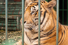 Tiger relaxing in a breeding cage royalty free stock photography