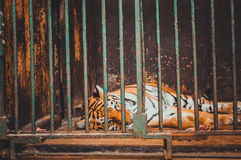 Tiger relaxing in cage Royalty Free Stock Photo