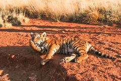 Tiger relaxing and cleaning its paw stock photos
