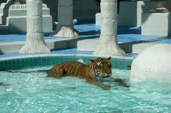 Tiger relaxing in pool Royalty Free Stock Photography