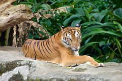 Tiger relaxing on a rock Stock Image