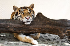 Tiger relaxing on trunk, looking at camera Stock Image