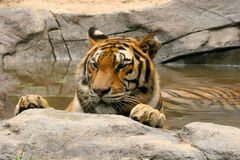 Tiger relaxing in the water Royalty Free Stock Photos