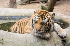 Tiger relaxing in water Stock Image