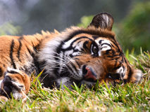 Tiger in repose. Tiger keeping a watchful eye while resting in the grass Stock Image