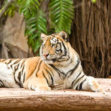 Tiger rest Stock Images