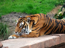 Tiger at rest. Tiger resting royalty free stock photo