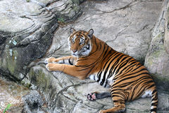 Tiger At Rest. A beautiful tiger resting on rocks Stock Image