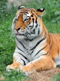 Tiger at rest. Tiger has decided to lay down, have a rest royalty free stock photos