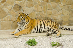 Tiger on the rest Stock Photography