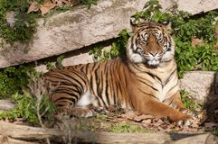 Tiger resting Royalty Free Stock Photo