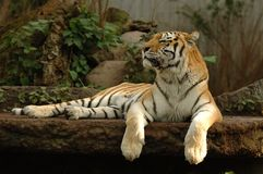 Tiger resting. Tiger is resting in the shade Royalty Free Stock Photography