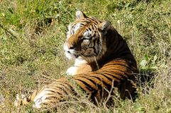 Tiger resting Stock Photo