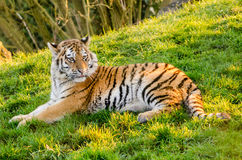 Tiger Resting 1. An Amur Tiger at rest Stock Photography
