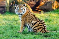 Tiger Resting 2. An Amur Tiger at rest Stock Images