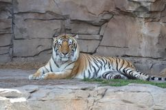 Tiger Resting. Beautiful tiger laying down Royalty Free Stock Image
