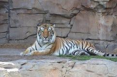 Tiger Resting. Beautiful tiger laying down royalty free stock image