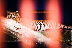 Tiger resting behind bars. A male tiger sleeping in cage at a zoo Stock Photography