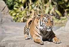 Tiger is resting stock photography