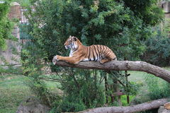Tiger. A tiger resting on a branch in Prague ZOO stock photos