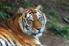 Tiger. Resting tiger Brasov Zoo Romania Royalty Free Stock Image
