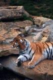 Tiger Resting- closeup. Closeup of a tiger resting his head on the rocks Stock Image