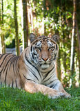 Tiger. Resting in the forest Stock Images
