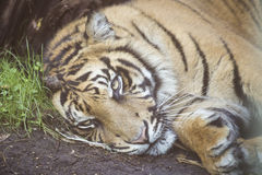 Tiger resting at the ground Royalty Free Stock Photo