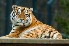 Tiger resting. In a habitat in ZOO Stock Photo