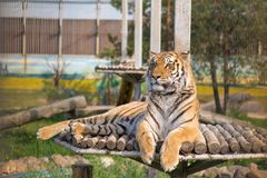 Tiger is resting on a hill stock image