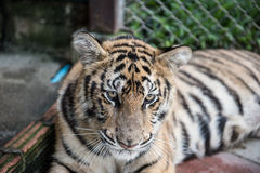 Tiger Resting in Its Cage Royalty Free Stock Images