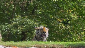 Siberian Tiger Jungle. A tiger resting in the jungle stock video footage
