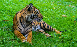 Tiger resting. Tiger laying on the grass resting Royalty Free Stock Photos