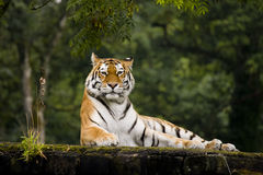 Tiger. Resting in Longleat park UK Stock Image