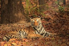 Tiger resting and looking towards camera. In National Park Stock Image