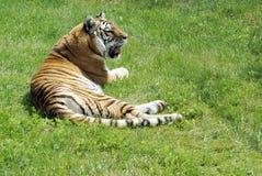 Tiger Resting op Gras royalty-vrije stock afbeeldingen