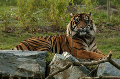 Tiger, Resting. The tiger (Panthera tigris) is the largest cat species, it's most recognizable feature is a pattern of dark vertical stripes on reddish-orange Stock Image
