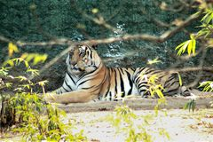 Tiger resting in a park royalty free stock images