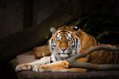 Tiger resting on a rock Stock Image