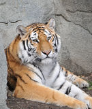 Tiger Resting on Rocks Royalty Free Stock Photography