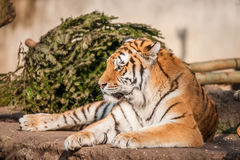 Tiger resting in the sun Stock Photo